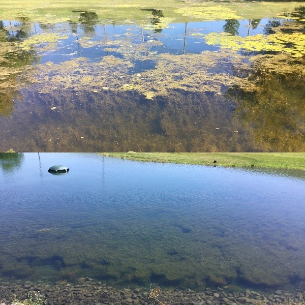 The murky waters before and cleaner watesr after Honu use at the U of I Golf Course